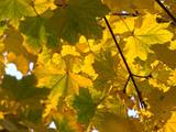 Herbstlaub gelb