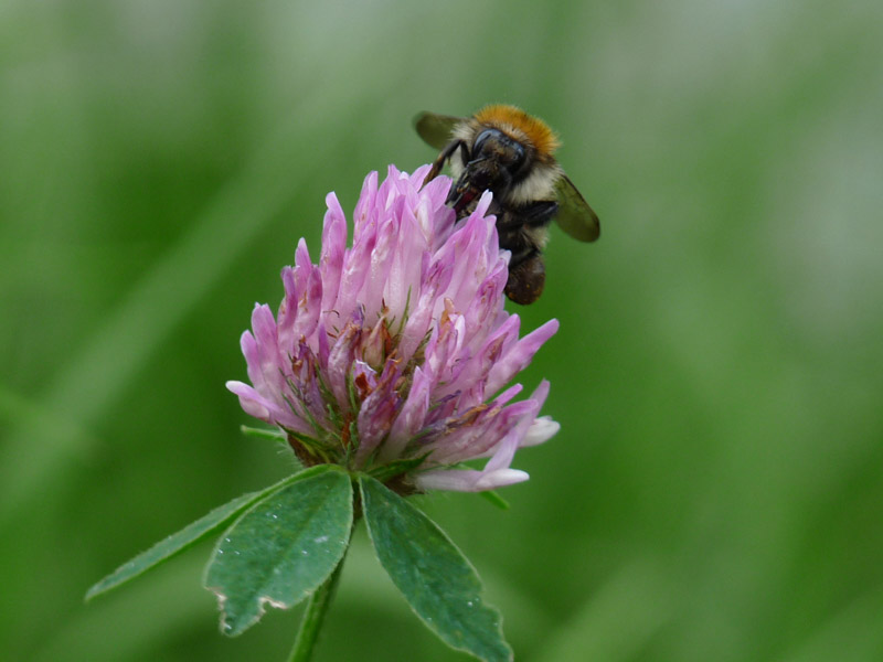 Biene auf Klee