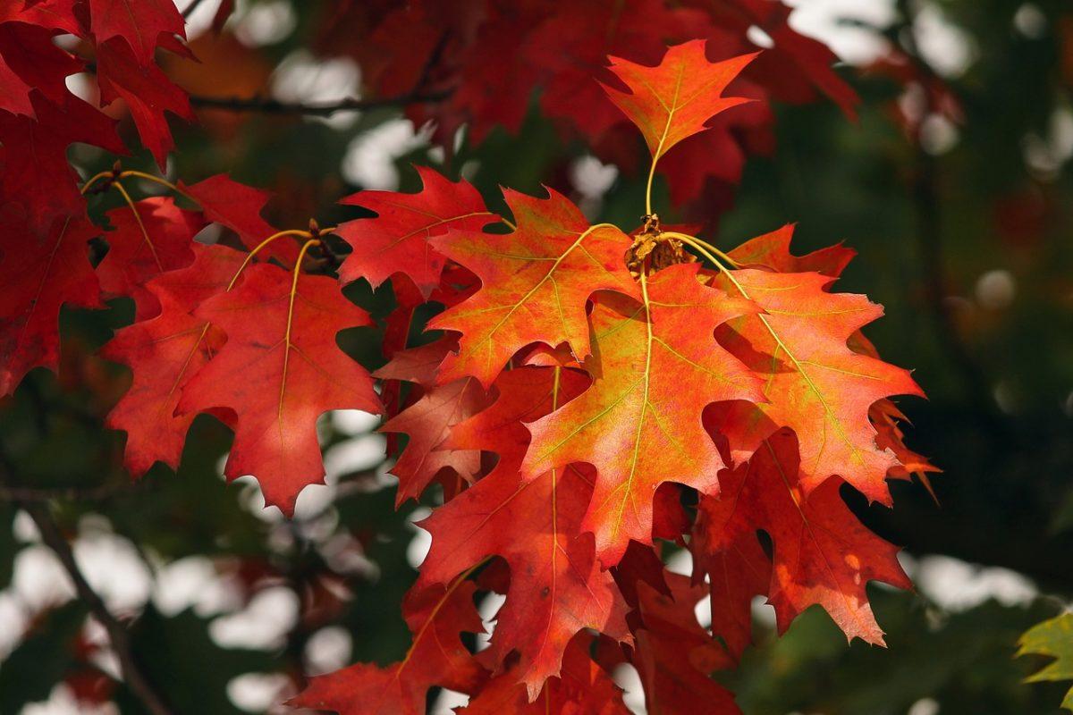 Eichenblätter rot