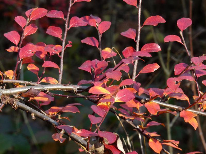 herbstblaetter-rot