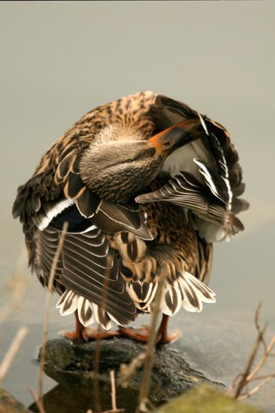 Ente putzt sich, © Astrid Brillen (piclease)